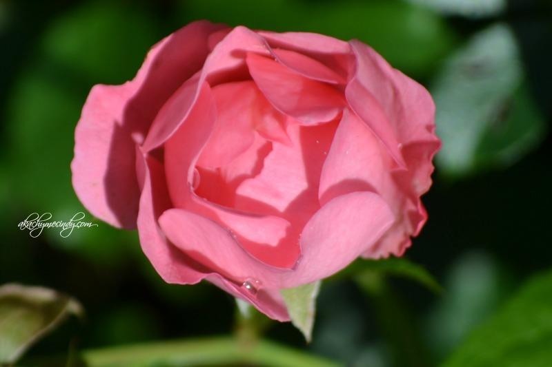 pinkroses3